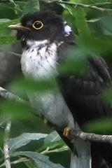Rufous Hawk-Cuckoo
